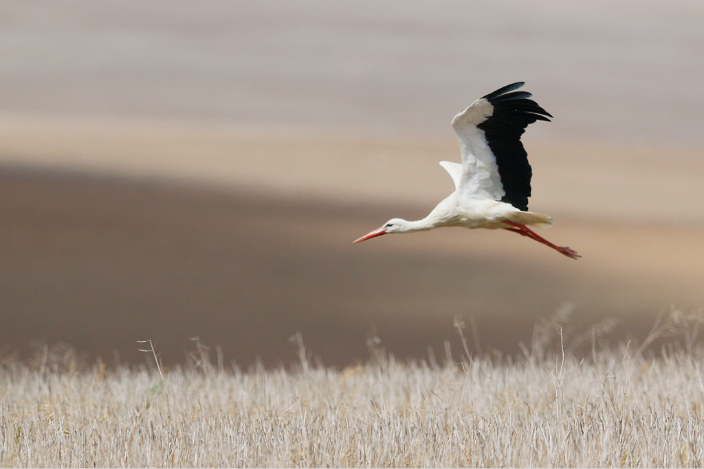 White Stork / Agulhas Plains, Western Cape, South Africa / 29 December 2014