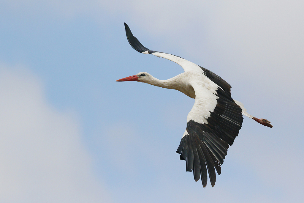 white stork  u2013 bird  u0026 wildlife photography by richard and