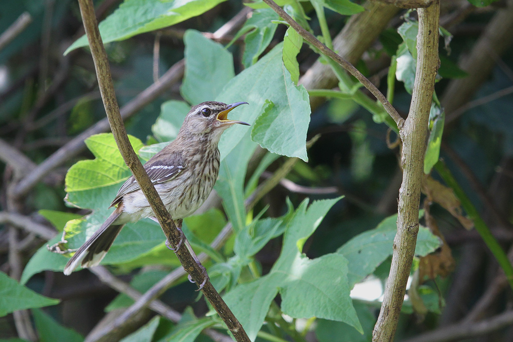 White-browed Scrub-Robin / Ocean View, South Africa / 15 December 2013