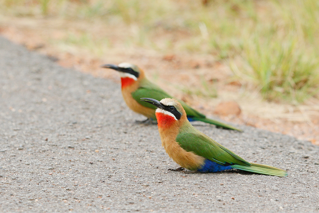 White-fronted Bee-eater / Rietvlei Nature Reserve, Gauteng, South Africa / 28 February 2015