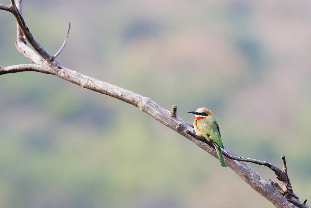 White-fronted Bee-eater / Shondoro Mountain Retreat, Limpopo Province, South Africa / 21 March 2015