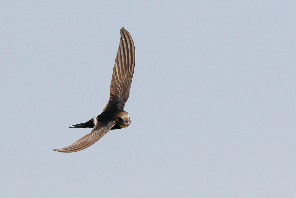 White-rumped Swift / Eendracht Road, Suikerbosrand, South Africa / 14 March 2015
