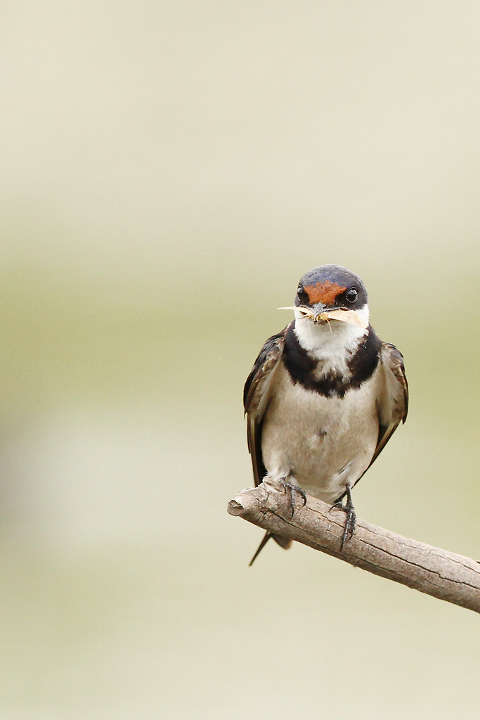 White-throated Swallow / Marievale Bird Sanctuary, South Africa / 22 Febraury 2014