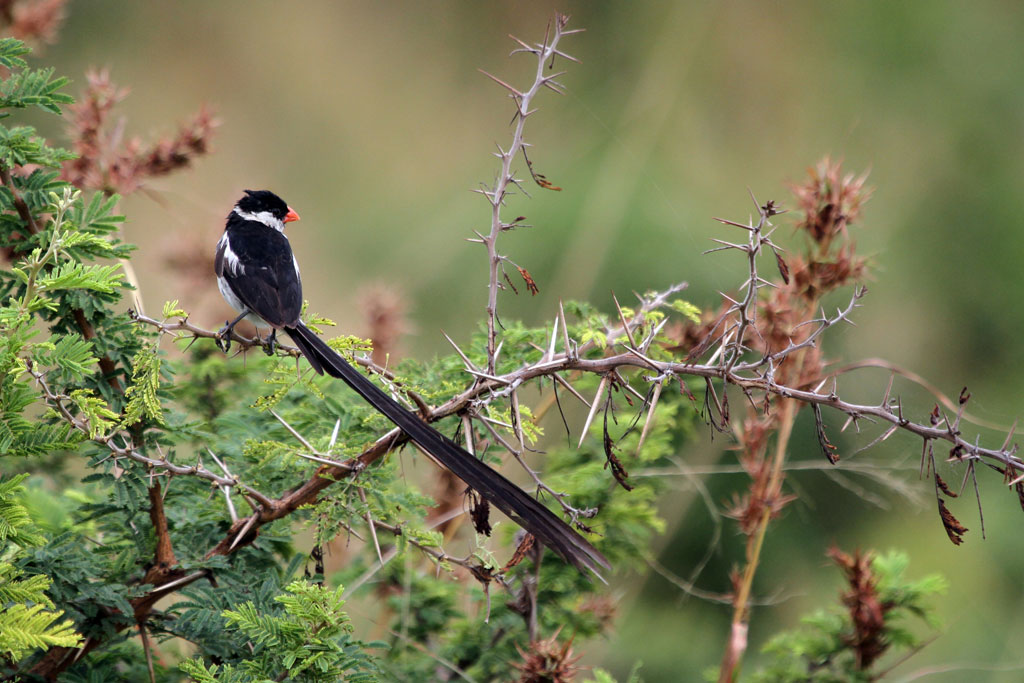 Pin-tailed Whydah – male / Hluhluwe Game Reserve, KZN, South Africa / 17 March 2011