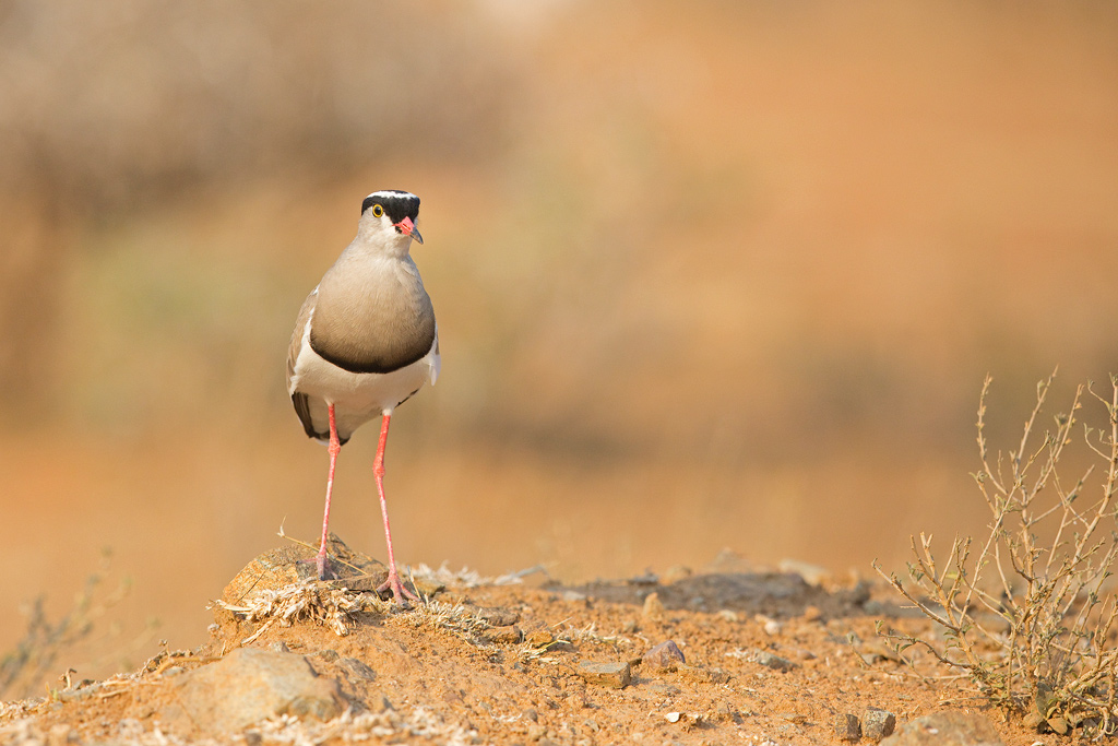 Crowned Lapwing / Kgomo Kgomo< North West Province, South Africa / September 2018