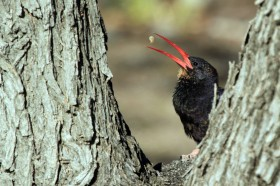 Violet Wood-hoopoe / Juvenile / Halali Camp, Etosha, Northern Namibia / 19 July 2012