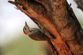 Cardinal Woodpecker / Pafuri Wilderness Camp, Northern Kruger, South Africa / 23 June 2012