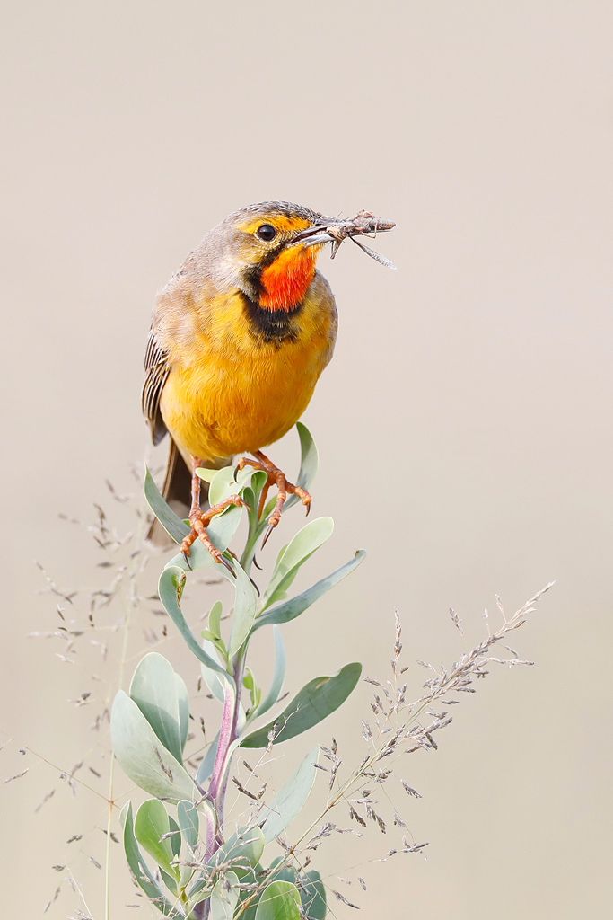 Cape or Orange-throated Longclaw / Vlaklaagte Roadside Routes, Gauteng, South Africa / Janaury 2020