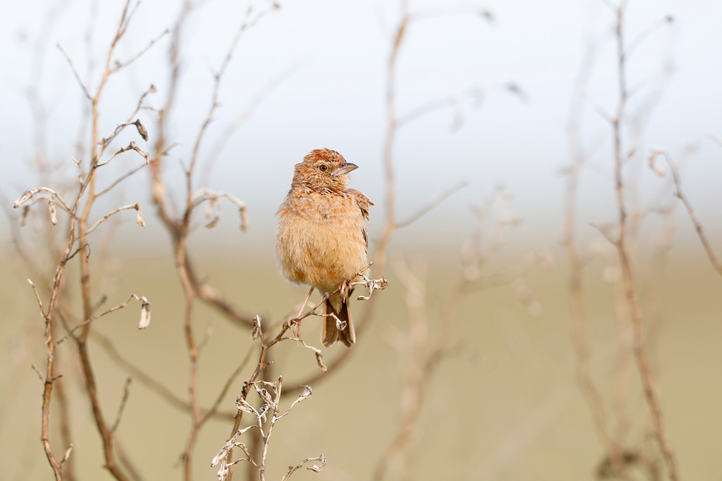 Eastern Clapper Lark / Vlaklaagte Roadside Routes. South Africa / 11 January 2020