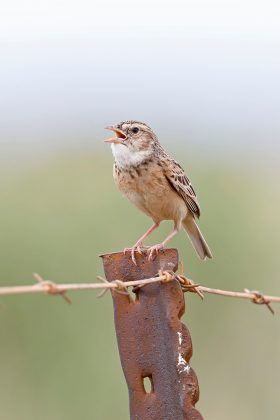 Melodious Lark / Vlaklaagte Roadside Routes, South Africa / 11 January 2019