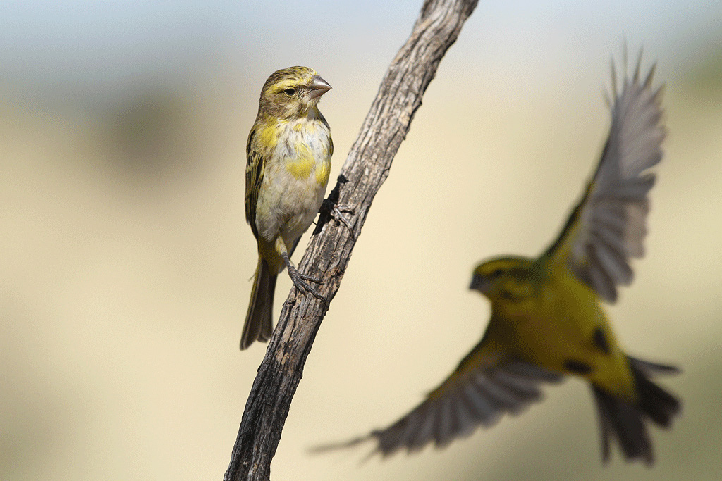 Yellow canary (female) / Grootkolk, Kgalagadi Transfrontier Park, South Africa / 10 June 2014