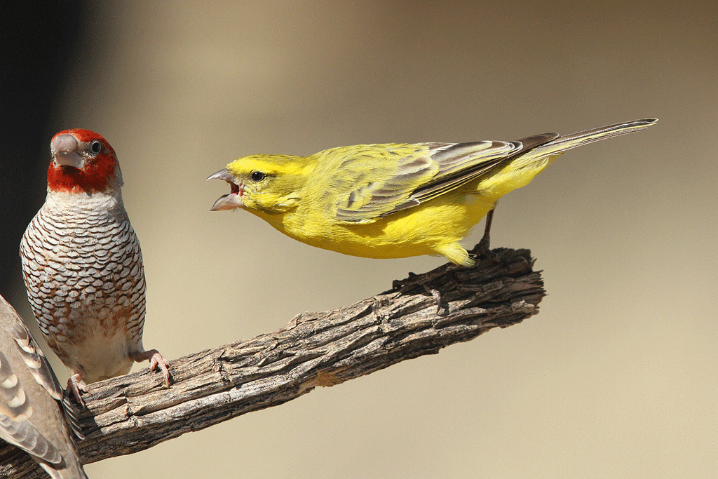 Yellow canary / Grootkolk, Kgalagadi Transfrontier Park, South Africa / 10 June 2014