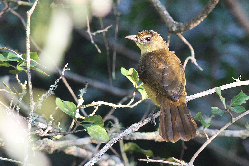 Yellow-bellied-Greenbul / Bonamanzi Game Reserve, KwaZulu Natal, South Africa / 23 March 2014