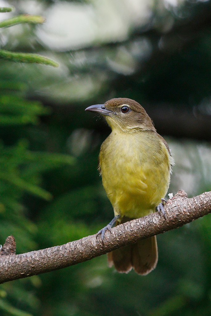 Yellow-bellied Greenbul / Ocean View, KZN, South Africa / 16 August 2015