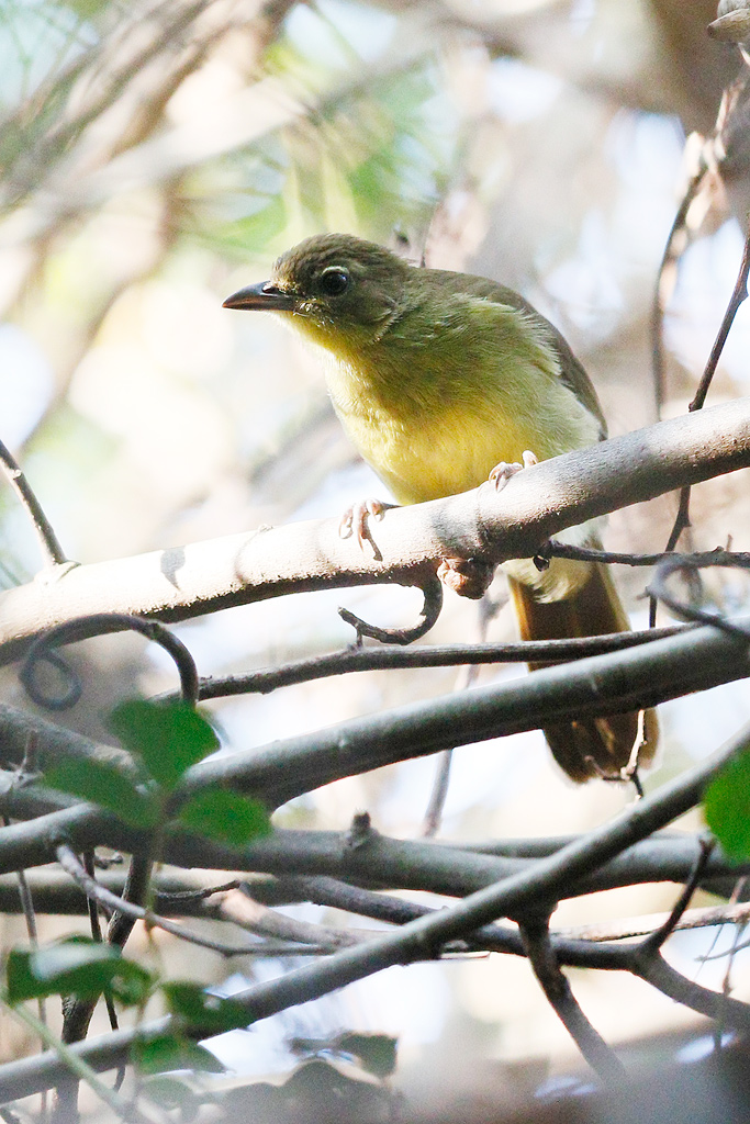 Yellow-bellied Greenbul / Umdoni Forest, KZN, South Africa / 22 August 2015