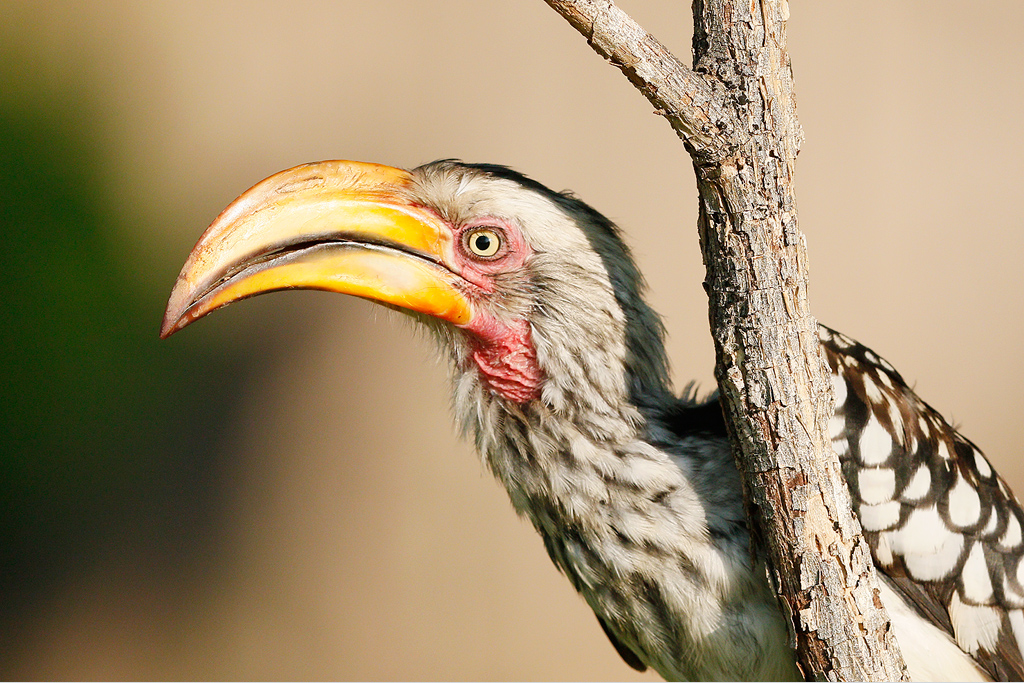 Yellow-billed-Hornbill—Mabula-Game-Reserve,-Waterberg,-South-Africa—10-January-2014-BEST-2-CR-SMSH
