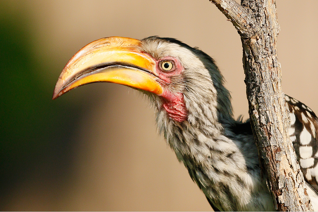 Yellow-billed-Hornbill—Mabula-Game-Reserve,-Waterberg,-South-Africa—10-January-2014-BEST-CR-SMSH