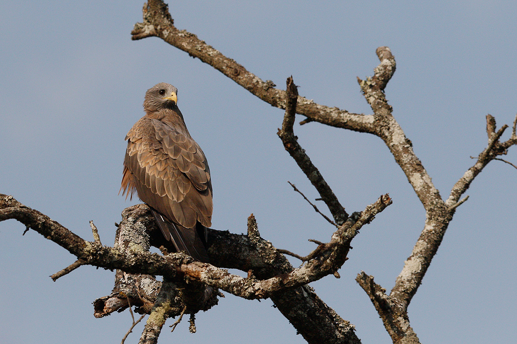 Yellow-billed Kite / Gwahumbe Game Reserve, Mid Illovo, Kwazulu Natal,-South Africa / 28 August 2015