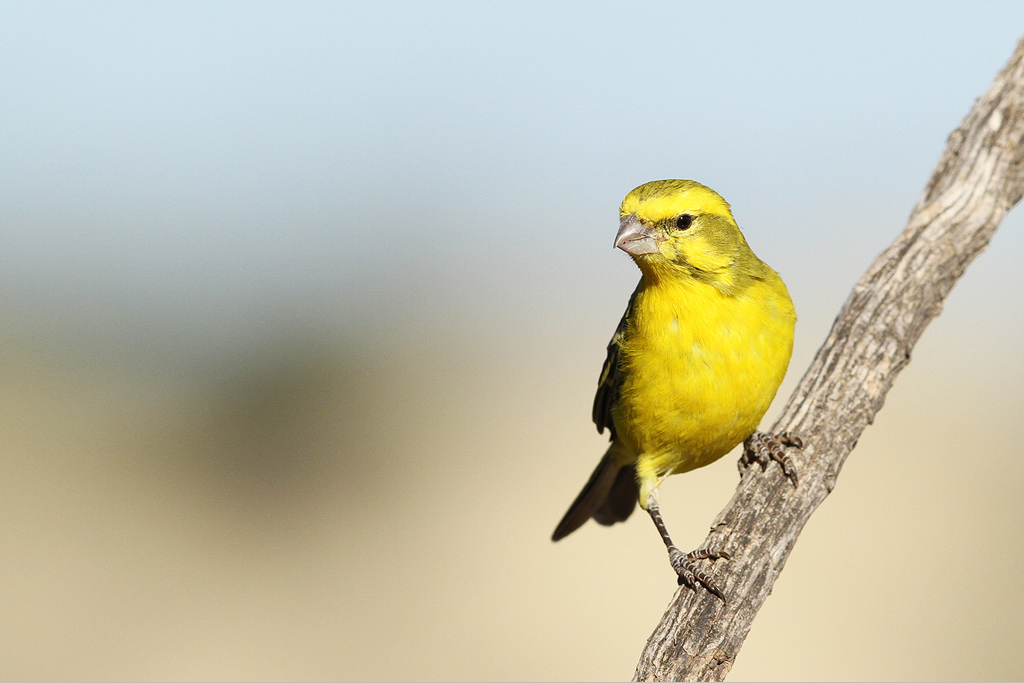 Yellow canary / Grootkolk, Kgalagadi Transfrontier Park, South Africa / 09 July 2014