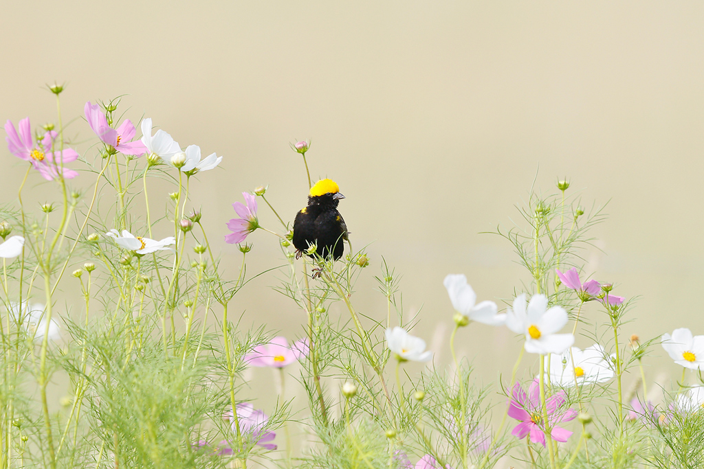 Yellow-crowned Bishop / Devon Farmlands, Gauteng, South Africa