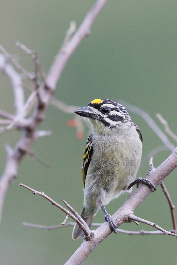 Yellow-fronted Tinkerbird / Vaalwater, Limpopo Province, South Africa / 22 March 2015