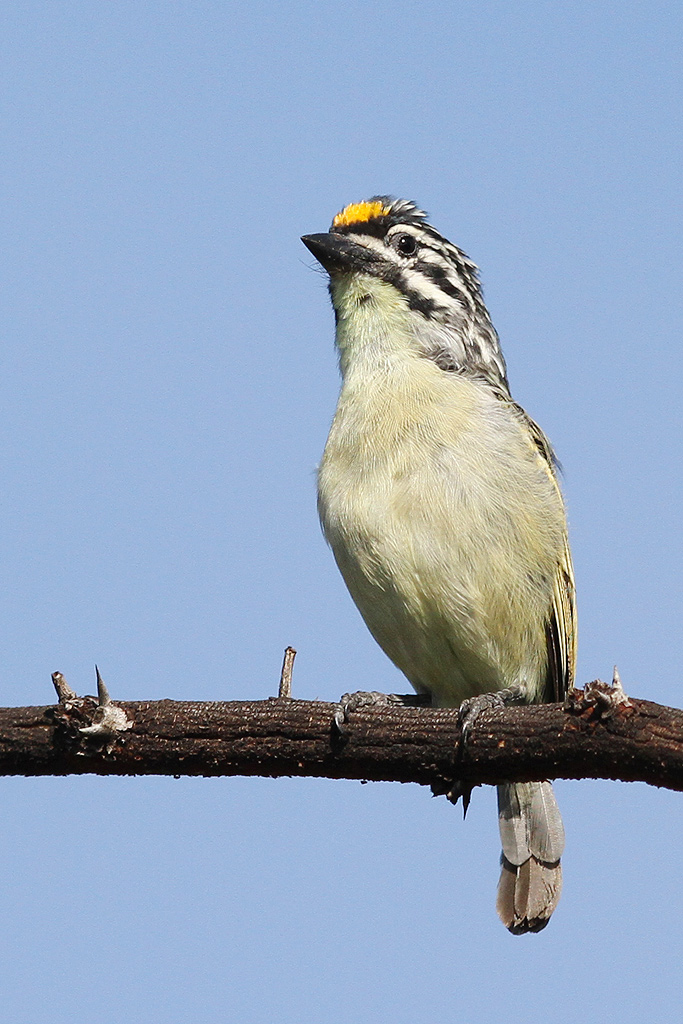Yellow-fronted Tinkerbird / Roodeplaat Nature Reserve, South Africa / 19 April 2014