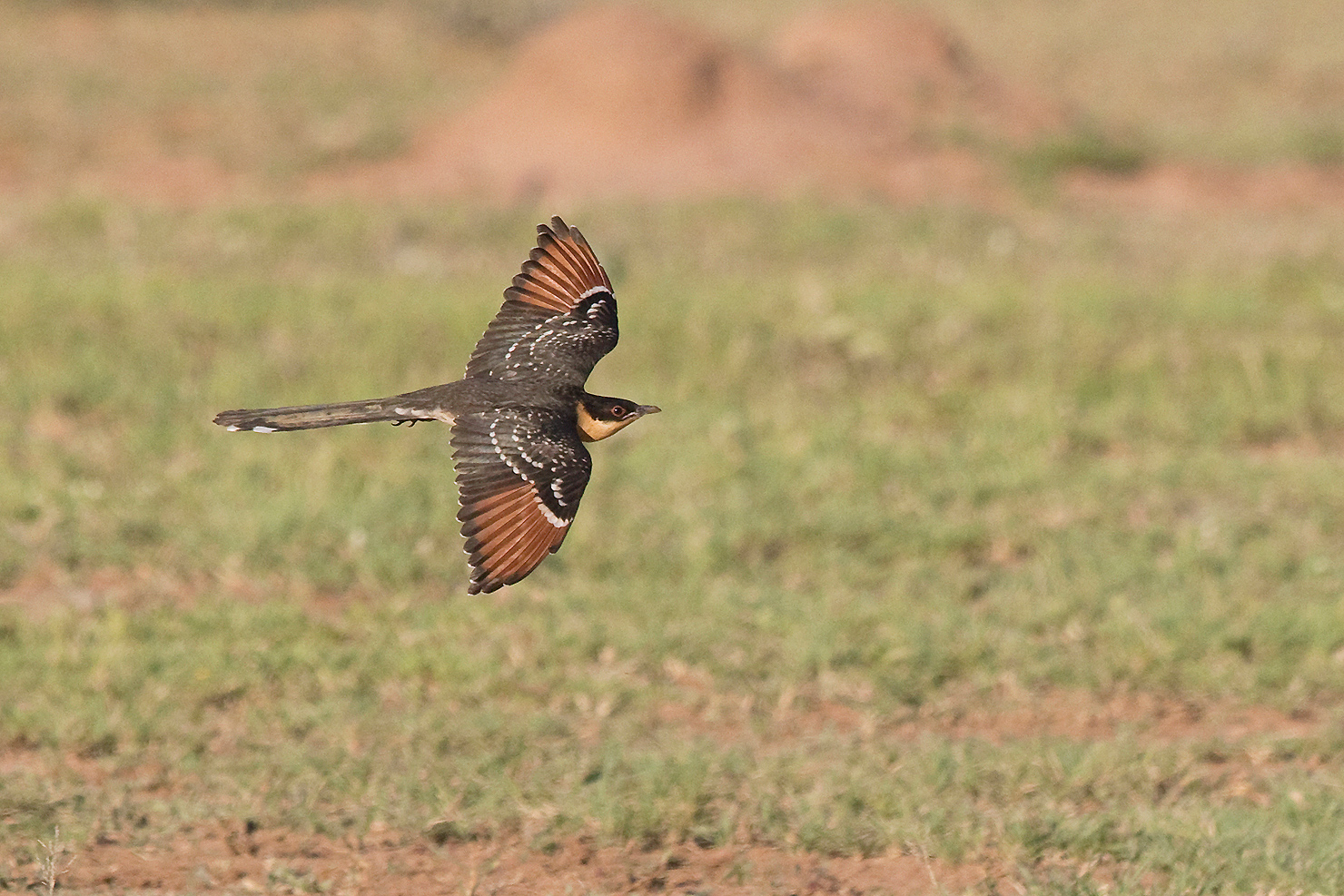 Great Spotted Cuckoo / Kgomo Kgomo, South Africa / 13 February 2016