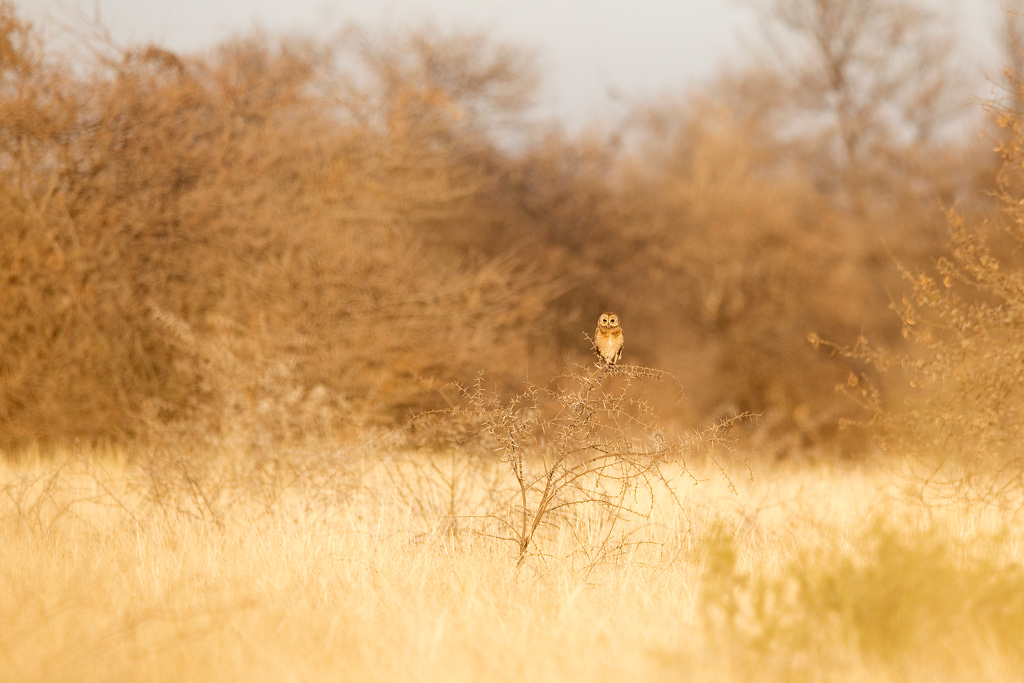 Marsh Owl / Zaagkuildrift, Limpopo Province, South Africa / July 2018