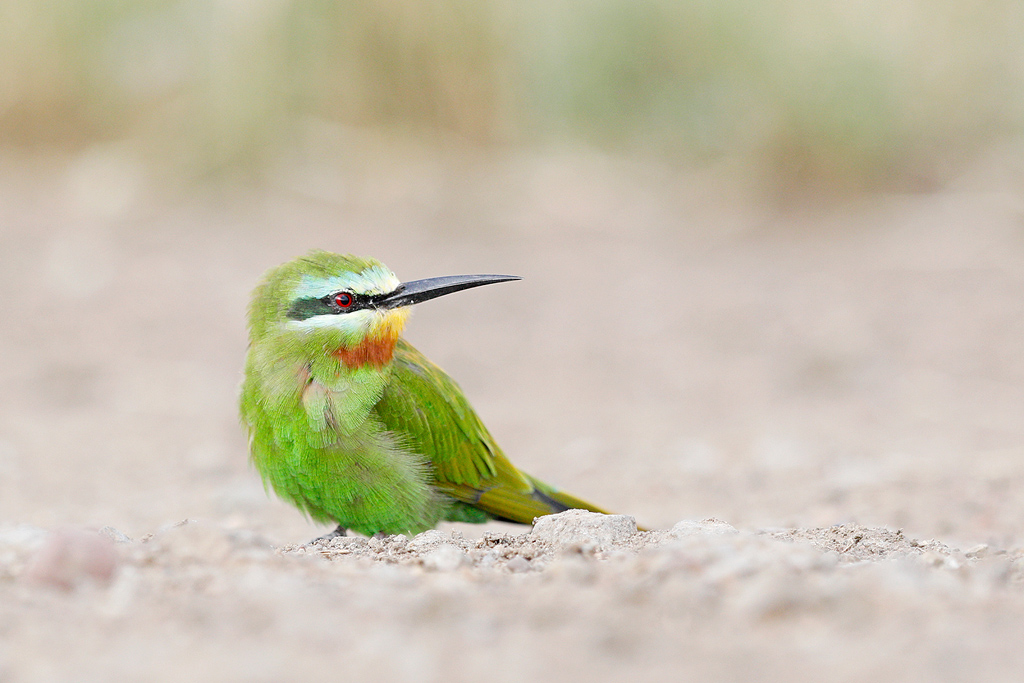 Blue-cheeked Bee-eater / Kgomo Kgomo, North West Province, South Africa / March 2017