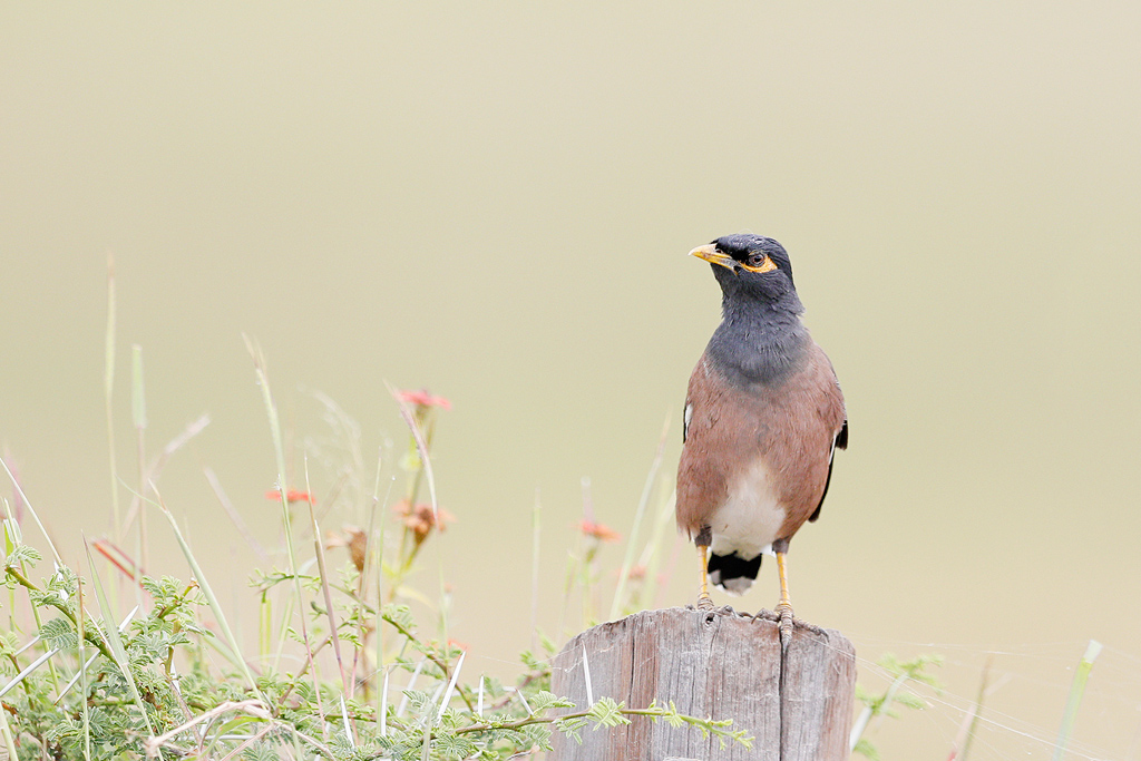 Common or Indian Mynah / Kgomo Kgomo, North West Province, South Africa / March 2017