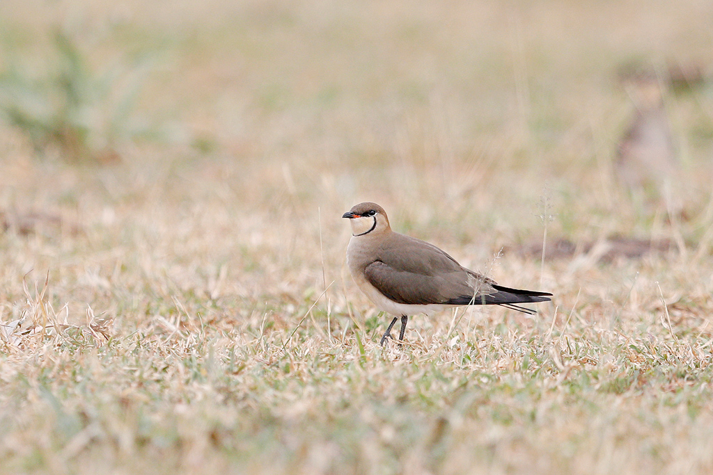 Black-winged Pratincole / Kgomo Kgomo, North West Province, South Africa / March 2017