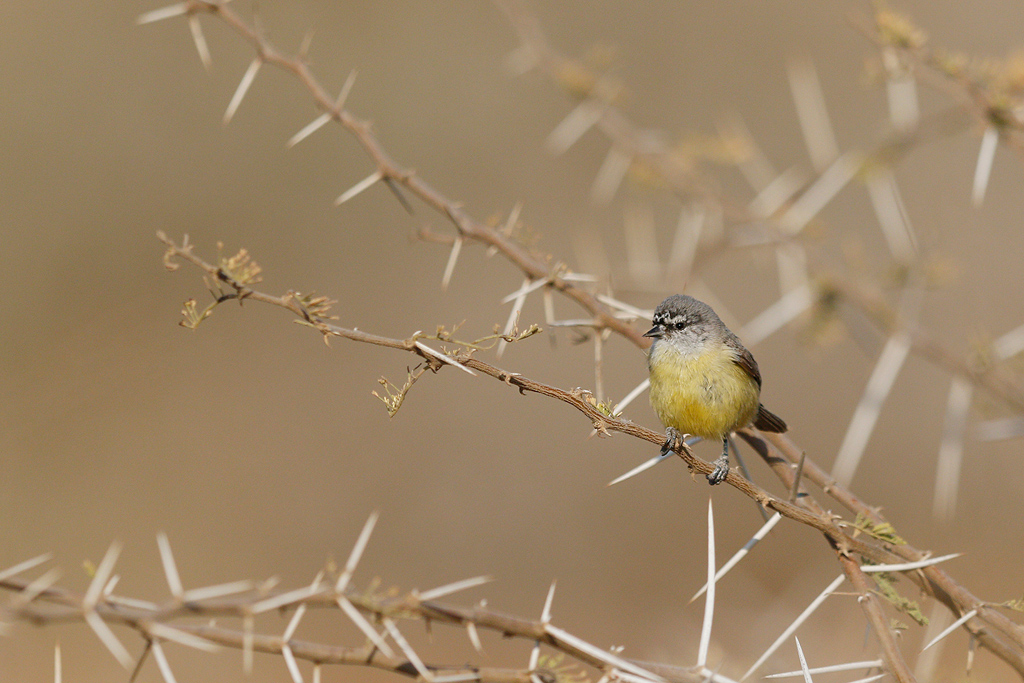 Cape Penduline-tit / Kgomo Kgomo, North West Province, South Africa / 24 September 2016