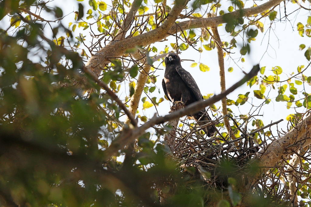 Wahlberg's Eagle / Monyani Private Game Reserve,