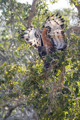 Crowned Eagle / Manyoni Private Game Reserve, KZN, South Africa / September 2018