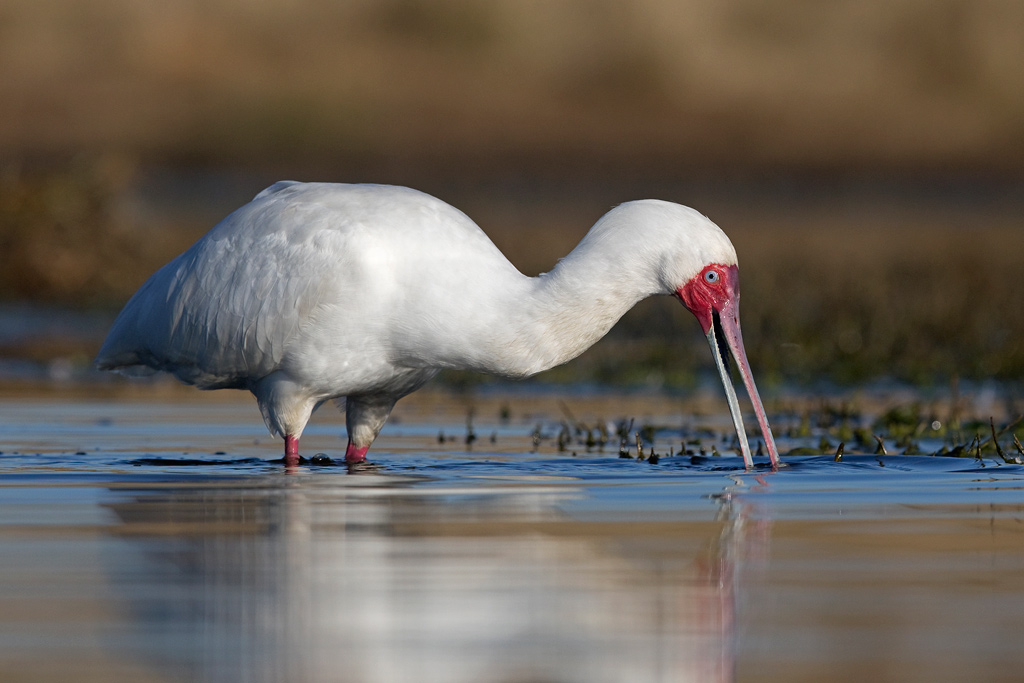 African Spoonbill / Zibula Colliery (near Secunda), South Africa / June 2018