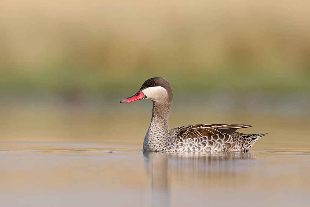 Red-billed Teal / Zibula Bird Hides, Gauteng, South Africa / October 2019