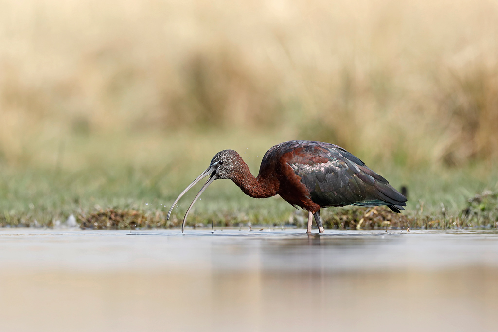 Glossy Ibis / Zibula Colliery, near Delmas, South Africa / November 2019