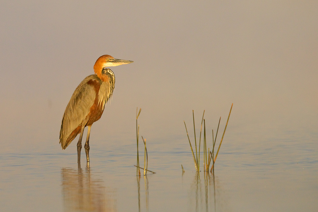 Goliath Heron / Zibula Colliery (near Secunda), South Africa / June 2018