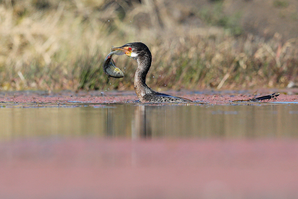 Reed Cormorant / Zibula Colliery (near Secunda), South Africa / June 2018