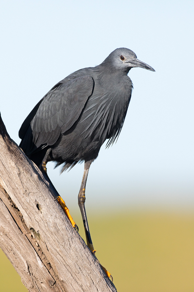 Black Heron / Zibul Colliery, Delmas, South Africa / February 2020