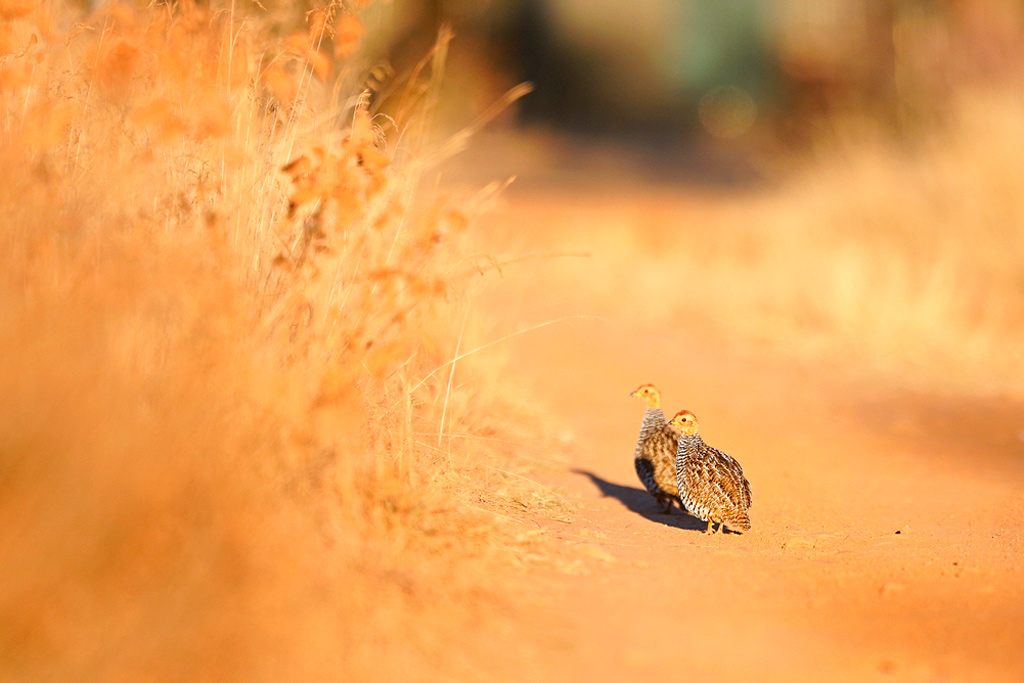 Coqui Francolin / Dinokeng Game Reserve, Gauteng, South Africa / 11 August 2018