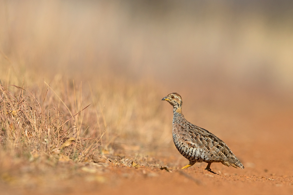Coqui Francolin (female) / Dinokeng Game Reserve, Gauteng, South Africa / 11 August 2018