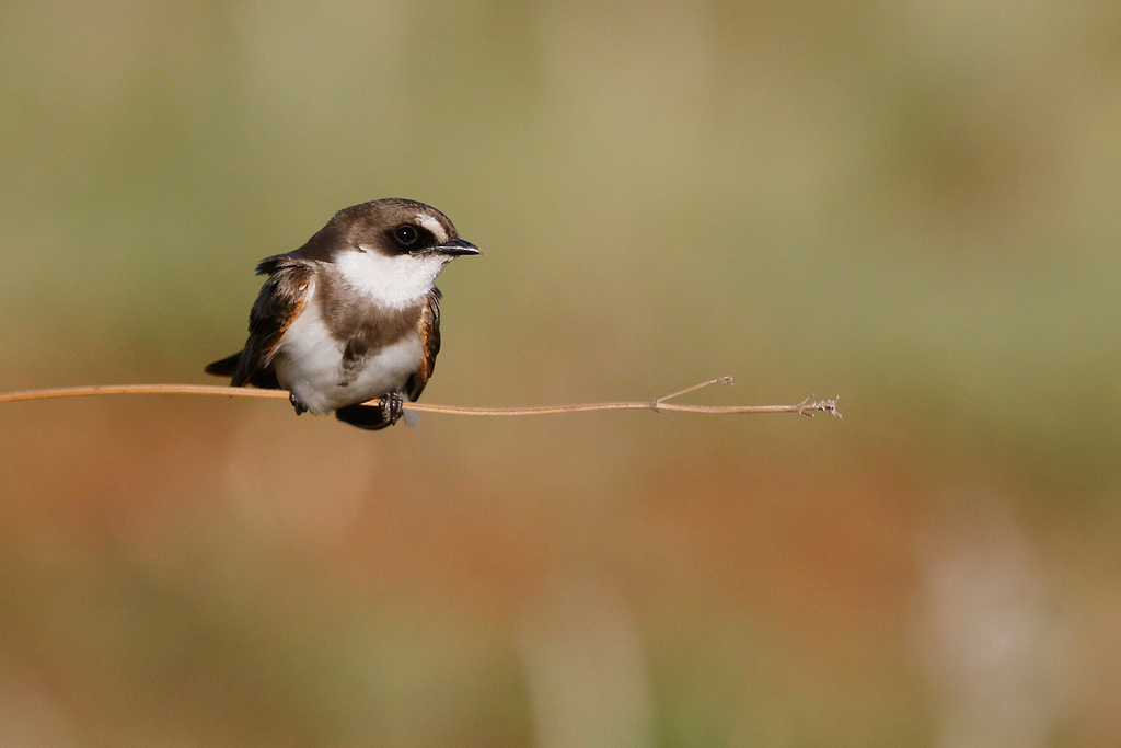 Banded Martin / Rietvlei Nature Reserve, South Africa / 21 November 2015