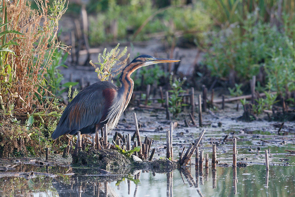 Purple Heron / Marievale Bird Sanctuary, Nigel, South Africa / 13 January 2016
