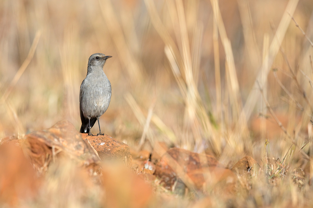 Mountain Wheatear / Suikerbosrand Nature Reserve, Gauteng, South Africa / July 2018