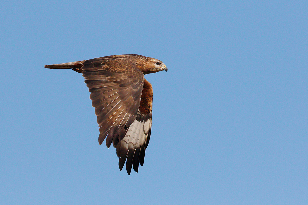 Steppe Buzzard / Vlaklaagte Roadside Routes, South Africa / November 2015