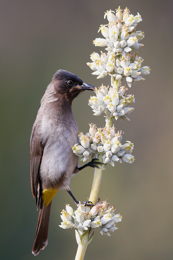 Dark-capped Bulbul / Walter Sisulu Botanical Gardens, Roodepoort, South Africa