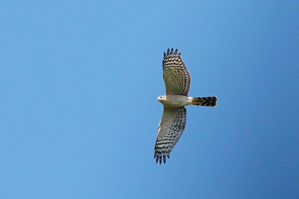 Ovambo Sparrowhawk / Sandton Field & Study Centre, Gauteng, South Africa / January 2018
