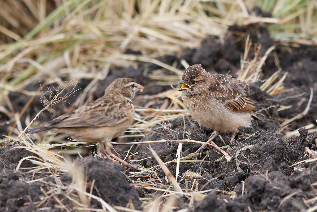 Pink-billed Lark / Devon Farmlands, South Africa / 26 April 2016
