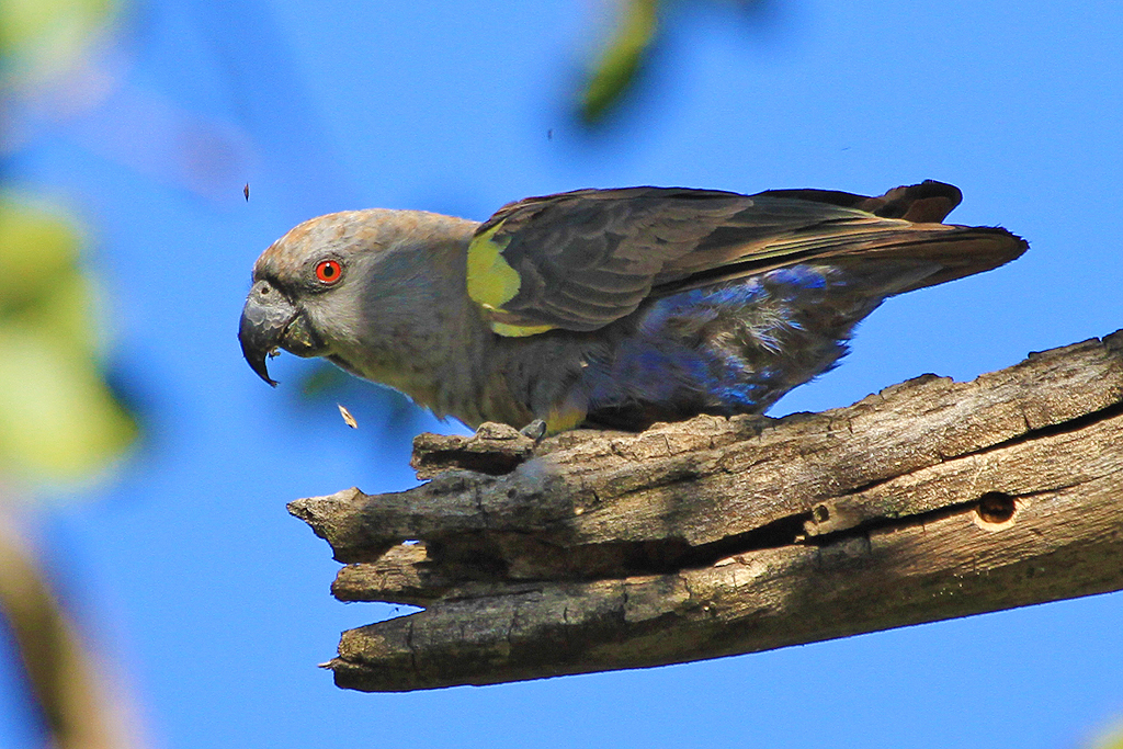 Rüppell's Parrot / Waterberg Plateau Park, Central Namibia / June 2012